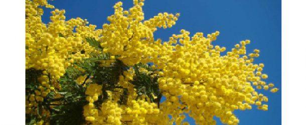 8 marzo, festa della donna a Cascina – Il sindaco Ceccardi dona mimose e spray al peperoncino
