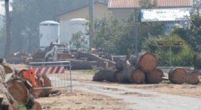Lunedì 12 novembre taglio di un albero pericoloso, senso unico alternato sulla Toscoromagnola a Fornacette