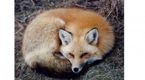 PROVINCIA DI PISA: AMBIENTALISTI E ANIMALISTI UNITI CONTRO LA CACCIA ALLA VOLPE. PRESIDIO DEL 26 MARZO DALLE 15 ALLE 18